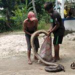 Usai Pindahkan Sapi, Warga Desa Wanseriwu di Mubar Temukan Ular Piton