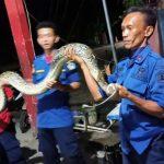 Hendak Makan Ayam, Ular Phyton diamankan Tim Rescue Dinas Kebakaran